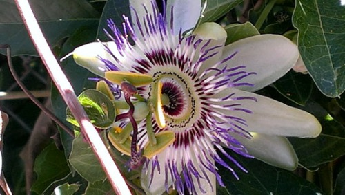 Maracuya flower